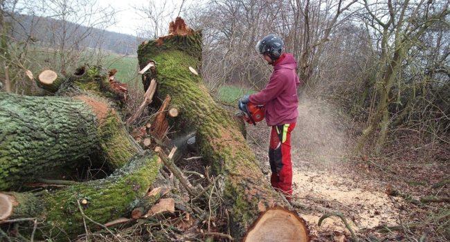 Baumfällen Greifswald