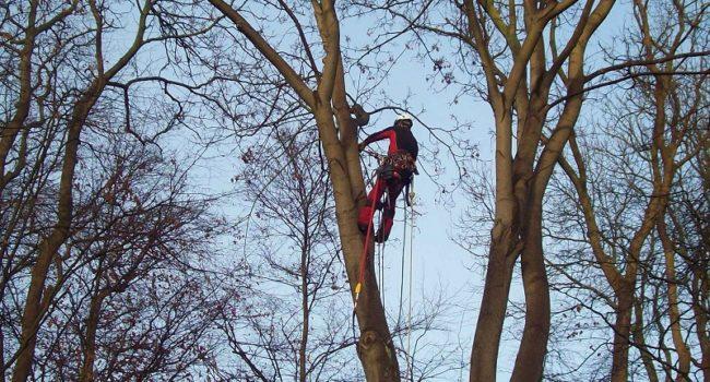 Baumpflegearbeit Greifswald